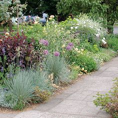 In a curb strip are 'Royal Purple' smoke tree, 'Sapphire' blue oat grass, 'Globemaster' allium, yellow 'Golden Celebration' rose, white 'Iceberg' rose, and Miscanthus sinensis 'Variegatus'