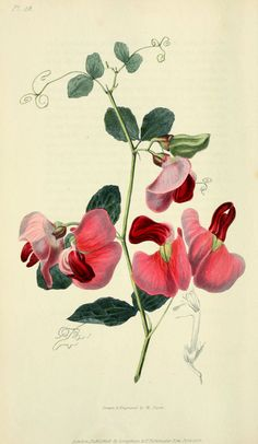 Botanical illustration of flora conspicua, circa 1826 from Biodiversity Heritage Library