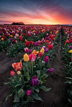 Spring Tulips, Woodburn, Oregon Visit our Page -►Wildlife and Nature Pictures ◄- For more photos Garden Care, Beautiful Flowers, Beautiful Places, Amazing Places, Amazing Things, Tulip Bulbs, Pretty Pictures, Amazing Pictures, Mother Nature