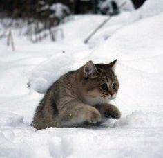 Russian winter kitty