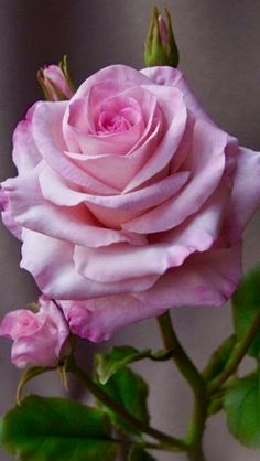 Beautiful Pink Roses, Love Rose, Purple Roses, Blue Flowers, Beautiful Flowers, Single Rose, Rose Cottage, Garden Trees, My Flower