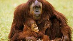 """""""Orang-oetan binnen tien jaar uitgestorven als er geen einde komt aan jacht en ontbossing"""" - HLN.be"""