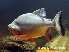1000 images about love tropical fish and fish tanks on for Pacu fish for sale