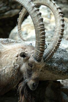 horns   por rwtrent Ibex, Fort Worth Zoo