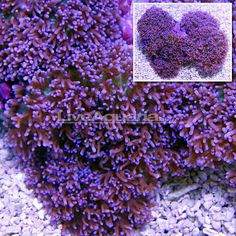 Lavender Mushroom;; The Lavender Mushroom is easy to maintain in the reef aquarium, and a good choice for the beginner hobbyist. It is somewhat aggressive, however, and can harm sessile invertebrates and overgrow other inhabitants of the reef. It requires a low to medium light level combined with a medium water movement within the aquarium.
