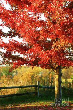 Beautiful red maple tree.
