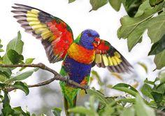 Loro arco iris | 22 animales de colores muy vivos que se ven demasiado hermosos como para ser reales