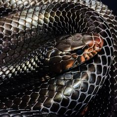 Sweet stroll - teleos: eastern indigo REALLY in shed. Cool Snakes, Colorful Snakes, Beautiful Snakes, Animals Beautiful, Cute Animals, Cute Reptiles, Reptiles And Amphibians, Anaconda, Arte Grunge