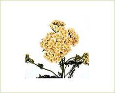 Achillea Cream - Achillea - yarrow