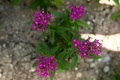 PENTAS - GRAFFITI VIOLET - Pinetree Garden Seeds - Flowers