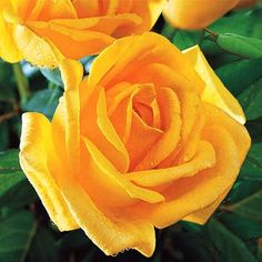 Roses that grow best. Are roses easy to grow? When to buy a rose bush. What is the prettiest rose? Do floribunda roses bloom all summer? How to keep a rose bush blooming. Roses with the most fragrance. Floribunda Roses, Best Roses, Long Stem Flowers, Mountain Rose, Rose Bush, Pretty Roses, Garden Roses, Flower Ideas, Yellow Roses