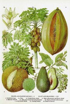Avocado, Breadfruit, Pawpaw