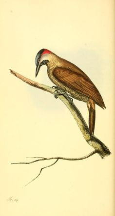 v. 1 - Zoological illustrations, or, Original figures and descriptions of new, rare, or interesting animals : - Biodiversity Heritage Librar...