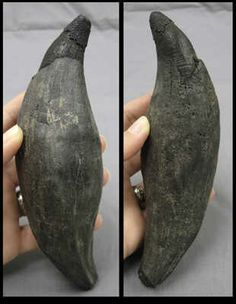 Fossil Sperm whale tooth