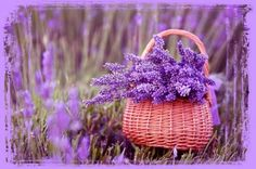 Uses Of Lavender Oil Lavender oil is among the most highly favored herbal remedies in the industry of human beauty. Its calming fragrant could be found in many types of candles hair products and creams.   Lavender essential oil contains both psychological as well as physiological properties.  It has more than 150 active constituents and has powerful antidepressant calmative analgesic antibacterial antiseptic sedative antispasmodic antimicrobial antifungal and anti-inflammatory properties…
