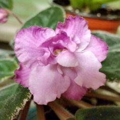African Violet Leaves:  Pair of PAINTED SUNRISE Leaves; Vintage