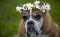 Fondo de Pantalla Animales Perro corona de flores