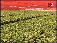 Entrega el Diputado Tomás López Landeros 500 mil plantas de café.
