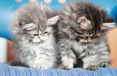 Puppies Of Siberian Cat, Brown And Blue Version Stock Photo ...