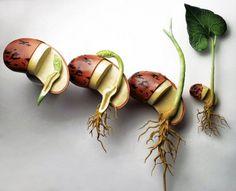 Durée germinative des graines potagères | Savoir faire | Côté techniques | Jardins du Nord