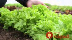 Držte sa ich a nebudete ľutovať! Cenné triky našich babičiek pre najkrajšie kvety a bohatú úrodu! Lettuce, Flora, Gardening, Vegetables, Shelf Life, Vitamins, Seeds, Salad, Leaves