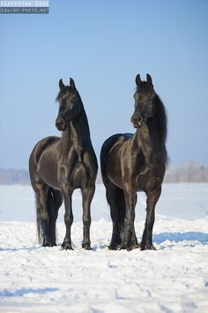 Stunning Pair of Friesian Horses - Equine Photography - by Ekaterina Druz