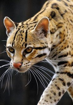 Brazilian Ocelot - So pretty! Small Wild Cats, Big Cats, Cats And Kittens, Nature Animals, Animals And Pets, Cute Animals, Ocelot, Beautiful Cats, Animals Beautiful