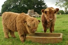 Jack and James! Highland Calf, Scottish Highland Cow, Happy Animals, Farm Animals, Cute Animals, Cute Creatures, Beautiful Creatures, Perth Scotland, Fluffy Cows