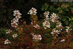 Versoja Vaahteramäeltä Hydrangea Paniculata, Dots, Garden, Plants, Stitches, Garten, Lawn And Garden, Gardens, Plant