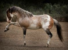 Shout out to AWHPC coalition founder and the campaign's parent organization Return To Freedom, American Wild Horse Sanctuary, home to this magnificent stallion, Sunfire.  Sunfire was captured in the Calico mountain Complex in 2010. He and 20 other stallions who lost their freedom in that roundup now call RTF's Santa Barbara County, CA sanctuary home.
