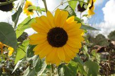 De laatste zonnebloemen van eind september