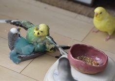 Budgie Parakeet, Cockatiel, Budgies, Parrots, Animals And Pets, Baby Animals, Funny Animals, Funny Birds, Cute Birds