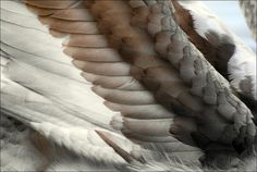 Feather detail of a young Mute Swan