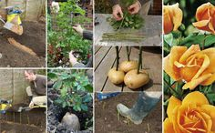 Propagating roses in potatoes Roses In Potatoes, Grow Potatoes, Planting Potatoes, Potato Barrel, Rose Cuttings, Rose Propagation, Growing Roses, Planting Roses, Fall Planting