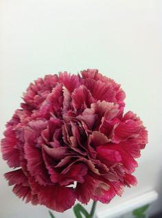 Ganache - Standard Carnation - Carnations - Flowers by category   Sierra Flower Finder