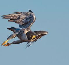Peregrine Falcon   peregrine falcon