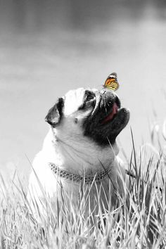A Butterfly on a Pugs nose. Look at my Pug Cartoons on https://www.pinterest.com/goldengalya/goldengalya/