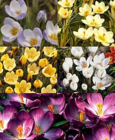 The Species Crocus Grand Collection - Species or Botanical Crocus - Crocus - Flower Bulb Index Spring Plants, Spring Flowers, Iris Rhizomes, Deer Resistant Plants, Tall Flowers, Garden Bulbs, Special Flowers, Garden Borders, Plant Design