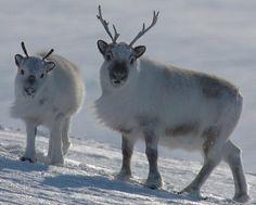 animaux / cervidé / rennes / mignon / grandfroid