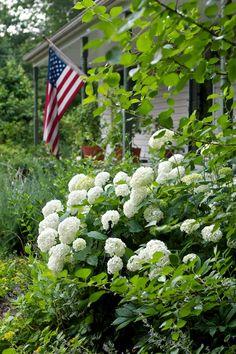 Hydrangeas and an American Flag