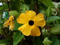 We have a super cute Black Eyed Susan Vine, and I would like to know how to collect the seeds to use next year. This looks useful.