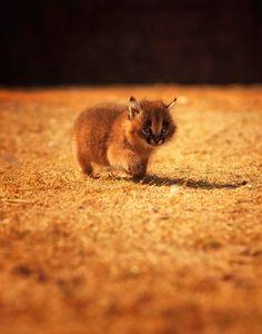 Caracal / Desert Lynx (Caracal caracal) -  Tiny little kitten by Andreas Jansrud
