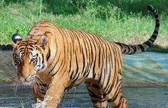 Shrinking Sunderbans threat to Bengal Tiger - The Hindu