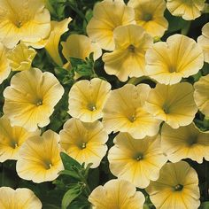 Amazon.com : Best Garden Seeds Sunrise Cascading Trails' Yellow Petunia Hybrid Seeds, 200 Seeds, Professional Pack, A Must For Hanging Baskets : Patio, Lawn & Garden
