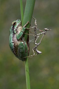A frog and a mantis share the same stalk