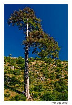 Pino Galapán, situado en el Parque Natural de la Sierra de Cazorla, Segura y Las Villas, en la Provincia de Jaén.