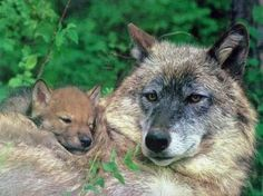 Wolf Mama and Baby