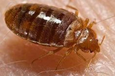 Bed Bugs Have Developed Resistance to Neonicotinoids – Entomology Today