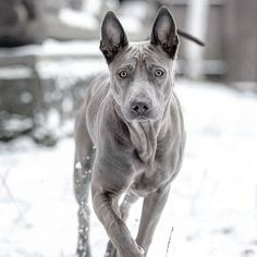 Many scientists believe that the Thai Ridgeback is the oldest dog. In their opinion, he retained the features of a single ancestor of all modern dogs. Thai Ridgeback, Coyotes, Cute Dogs And Puppies, Doggies, Dog List, Purebred Dogs, Old Dogs, Mans Best Friend, Mammals