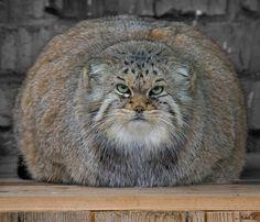 The Pallas' Cat